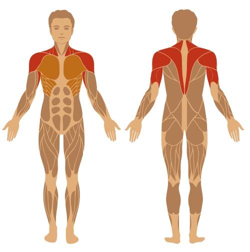 Schulterdrücken - Überkopfdrücken - beteiligte Muskeln